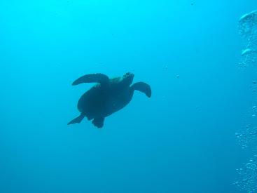 グアムのバラキューダロックのウミガメ