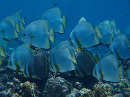 マクタン島のコンチキビーチで見た魚
