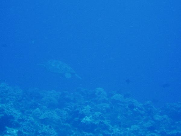 渡名喜島のウミガメ