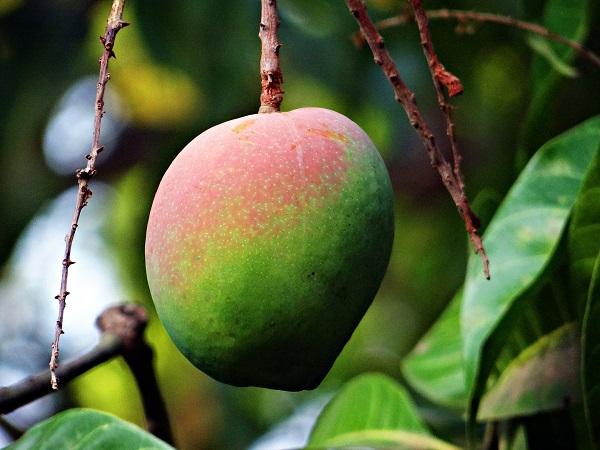 ロタ島のトロピカルフルーツ